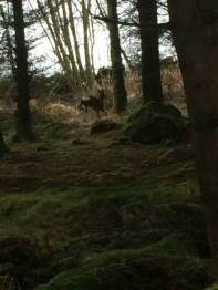 Deer in bottom Paddock